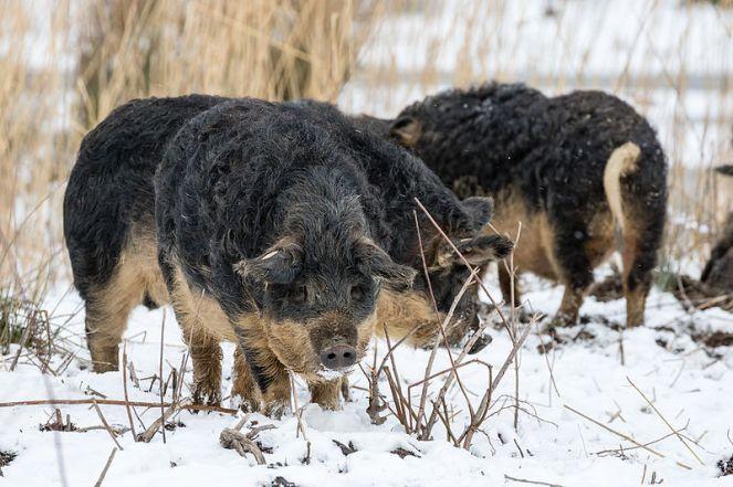 Wollschweine-_MG_6465